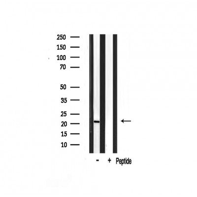 Western blot analysis on rat brain lysate using Musculin Antibody