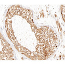 AF0214 at 1/100 staining human testis tissue sections by IHC-P. The tissue was   formaldehyde fixed and a heat mediated antigen retrieval step in citrate buffer was   performed. The tissue was then blocked and incubated with the antibody for 1.5 hours at 22  ¡ãC. An HRP conjugated goat anti-rabbit antibody was used as the secondary