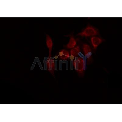 AF0354 staining HepG2 by IF/ICC. The sample were fixed with PFA and permeabilized in 0.1% Triton X-100,then blocked in 10% serum for 45 minutes at 25¡ãC. The primary antibody was diluted at 1/200 and incubated with the sample for 1 hour at 37¡ãC. An  Alexa Fluor 594 conjugated goat anti-rabbit IgG (H+L) Ab, diluted at 1/600, was used as the secondary antibod