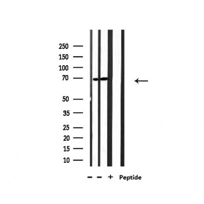 Western blot analysis of extracts from 293 and Hela, using NXF1 Antibody.