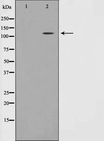 Western blot analysis on MOLT cell lysate using Phospho-Retinoblastoma(Thr826) Antibody.The lane on the left is treated with the antigen-specific peptide.