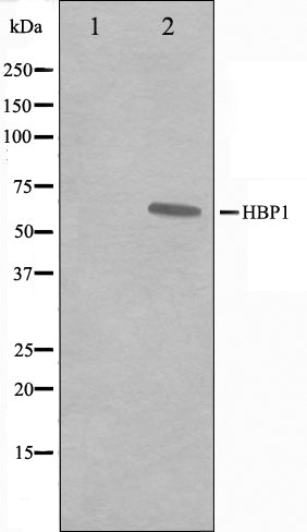 Western blot analysis on A549 cell lysate using HBP1 Antibody,The lane on the left is treated with the antigen-specific peptide.