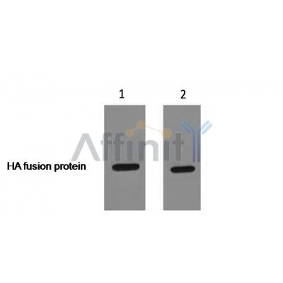 Western blot analysis of HA-Tag Rabbit pAb expression in HA fusion protein  sample