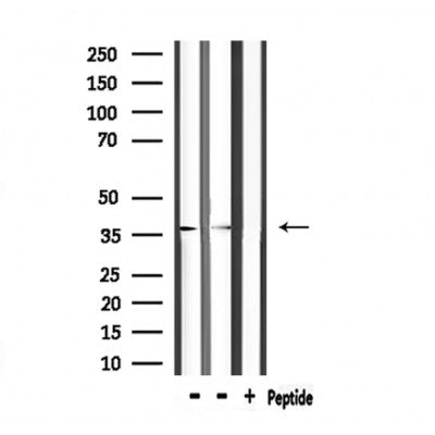 Western blot analysis of extracts from mouse brain, using ANXA5 Antibody.