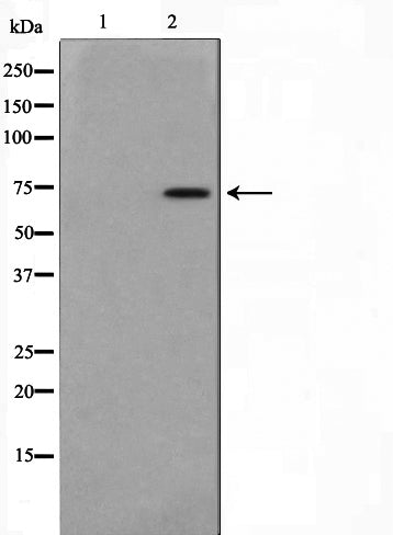 AF0522 staining MCF-7 cells by IF/ICC. The sample were fixed with PFA and permeabilized in 0.1% Triton X-100,then blocked in 10% serum for 45 minutes at 25¡ãC. The primary antibody was diluted at 1/200 and incubated with the sample for 1 hour at 37¡ãC. An  Alexa Fluor 594 conjugated goat anti-rabbit IgG (H+L) antibody(Cat.