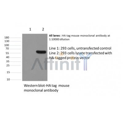 Western blot analysis of HA-Tag Mouse Monoclonal Antibody expression in HA-tag fusion protein  sample