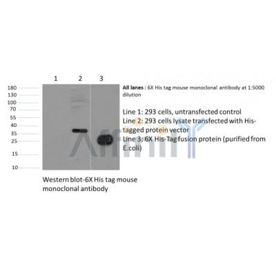 Western blot analysis of His-Tag Mouse Monoclonal Antibody expression in 6*His-tag fusion protein
