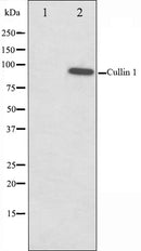 Western blot analysis on HeLa cell lysate using Cullin 1 Antibody,The lane on the left is treated with the antigen-specific peptide.