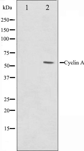 Western blot analysis on COS7 cell lysate using Cyclin A Antibody,The lane on the left is treated with the antigen-specific peptide.