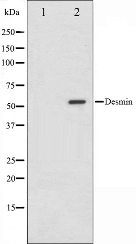 Western blot analysis on HeLa cell lysate using Desmin Antibody,The lane on the left is treated with the antigen-specific peptide.