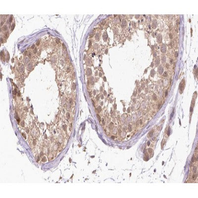 AF0050 at 1/200 staining human Testis tissue sections by IHC-P. The tissue was formaldehyde fixed and a heat mediated antigen retrieval step in citrate buffer was performed. The tissue was then blocked and incubated with the antibody for 1.5 hours at 22¡ãC. An HRP conjugated goat anti-rabbit antibody was used as the secondary