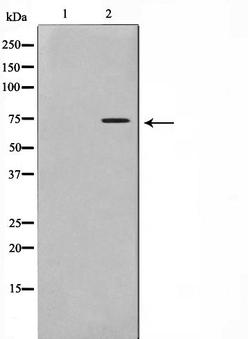 Western blot analysis on HT29 cell lysate using Phospho-Gab2(Tyr452) Antibody,The lane on the left is treated with the antigen-specific peptide.