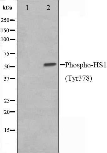 Western blot analysis on HepG2 cell lysate using Phospho-HS1(Tyr378) Antibody,The lane on the left is treated with the antigen-specific peptide.