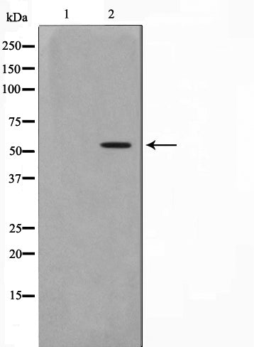 AF0836 staining 293 by IF/ICC. The sample were fixed with PFA and permeabilized in 0.1% Triton X-100,then blocked in 10% serum for 45 minutes at 25¡ãC. The primary antibody was diluted at 1/200 and incubated with the sample for 1 hour at 37¡ãC. An  Alexa Fluor 594 conjugated goat anti-rabbit IgG (H+L) Ab, diluted at 1/600, was used as the secondary antibod