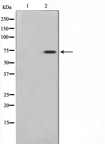 AF0837 staining Hela by IF/ICC. The sample were fixed with PFA and permeabilized in 0.1% Triton X-100,then blocked in 10% serum for 45 minutes at 25¡ãC. The primary antibody was diluted at 1/200 and incubated with the sample for 1 hour at 37¡ãC. An  Alexa Fluor 594 conjugated goat anti-rabbit IgG (H+L) Ab, diluted at 1/600, was used as the secondary antibod