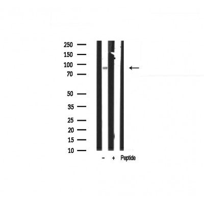 AF0530 staining Hela by IF/ICC. The sample were fixed with PFA and permeabilized in 0.1% Triton X-100,then blocked in 10% serum for 45 minutes at 25¡ãC. The primary antibody was diluted at 1/200 and incubated with the sample for 1 hour at 37¡ãC. An  Alexa Fluor 594 conjugated goat anti-rabbit IgG (H+L) Ab, diluted at 1/600, was used as the secondary antibod