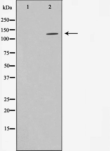 AF0585 staining HeLa  cells by IF/ICC. The sample were fixed with PFA and permeabilized in 0.1% Triton X-100,then blocked in 10% serum for 45 minutes at 25¡ãC. The primary antibody was diluted at 1/200 and incubated with the sample for 1 hour at 37¡ãC. An  Alexa Fluor 594 conjugated goat anti-rabbit IgG (H+L) antibody(Cat.