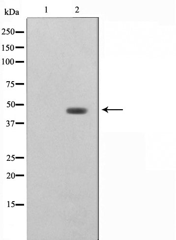 AF0586 staining COLO205 by IF/ICC. The sample were fixed with PFA and permeabilized in 0.1% Triton X-100,then blocked in 10% serum for 45 minutes at 25¡ãC. The primary antibody was diluted at 1/200 and incubated with the sample for 1 hour at 37¡ãC. An  Alexa Fluor 594 conjugated goat anti-rabbit IgG (H+L) Ab, diluted at 1/600, was used as the secondary antibod