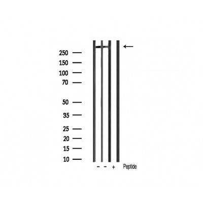 Western blot analysis of extracts of various tissue sample,using ki67 antibody.