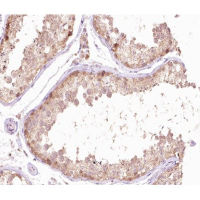 AF0377 at 1/100 staining human testis tissue sections by IHC-P. The tissue was formaldehyde fixed and a heat mediated antigen retrieval step in citrate buffer was performed. The tissue was then blocked and incubated with the antibody for 1.5 hours at 22¡ãC. An HRP conjugated goat anti-rabbit antibody was used as the secondary