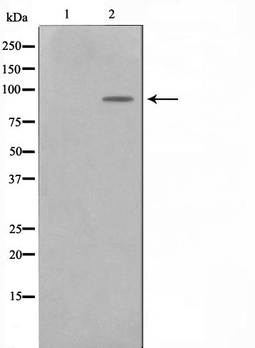 AF0684 staining NIH-3T3 by IF/ICC. The sample were fixed with PFA and permeabilized in 0.1% Triton X-100,then blocked in 10% serum for 45 minutes at 25¡ãC. The primary antibody was diluted at 1/200 and incubated with the sample for 1 hour at 37¡ãC. An  Alexa Fluor 594 conjugated goat anti-rabbit IgG (H+L) Ab, diluted at 1/600, was used as the secondary antibod