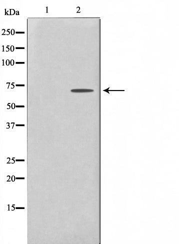 AF0595 staining COLO205 by IF/ICC. The sample were fixed with PFA and permeabilized in 0.1% Triton X-100,then blocked in 10% serum for 45 minutes at 25¡ãC. The primary antibody was diluted at 1/200 and incubated with the sample for 1 hour at 37¡ãC. An  Alexa Fluor 594 conjugated goat anti-rabbit IgG (H+L) Ab, diluted at 1/600, was used as the secondary antibod