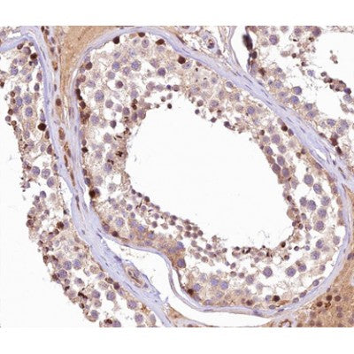 AF0165 at 1/100 staining human Testis tissue sections by IHC-P. The tissue was formaldehyde fixed and a heat mediated antigen retrieval step in citrate buffer was performed. The tissue was then blocked and incubated with the antibody for 1.5 hours at 22¡ãC. An HRP conjugated goat anti-rabbit antibody was used as the secondary
