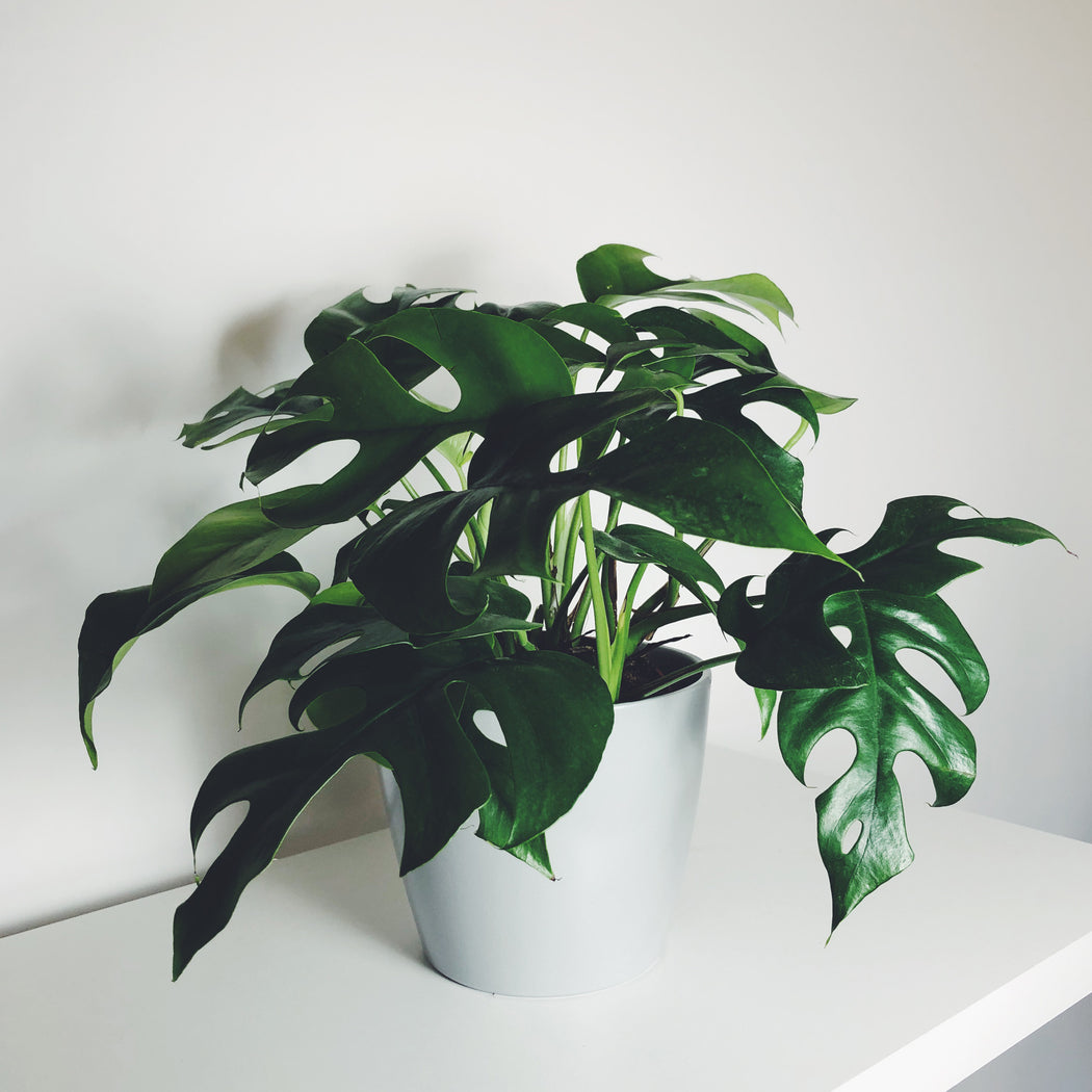 Monstera minima bei Upgreen