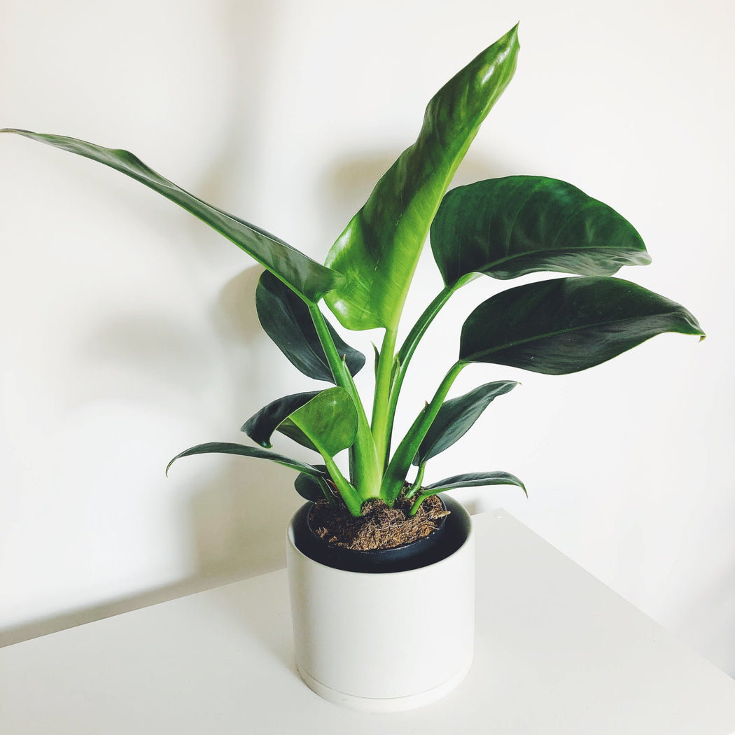 Philodendron Green Congo