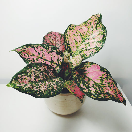 Aglaonema commutatum Pink Dalmatian, Upgreen