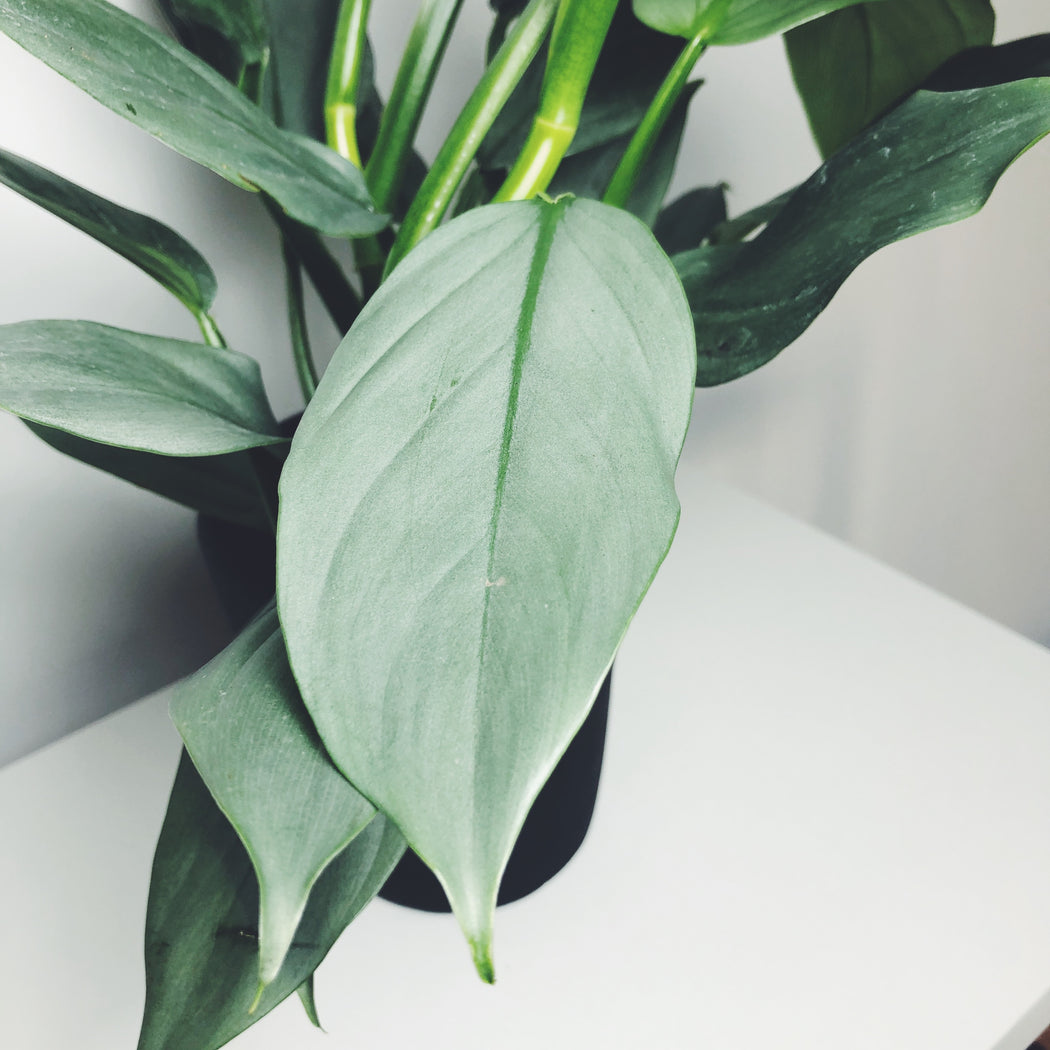 Philodendron Silver Sword