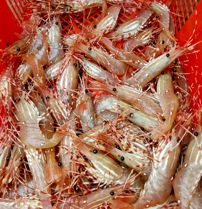 Tips When Picking Up Your Live Spot Prawns
