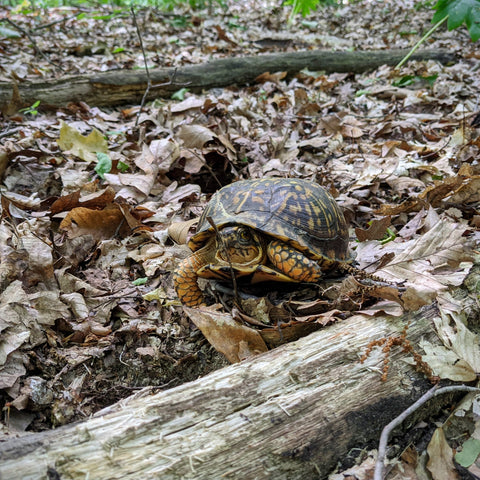 An eastern box turtle surrounded by brown leaves and logs in a forest setting.
