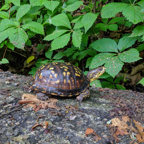 An eastern box turtle on a trail right after a rain.