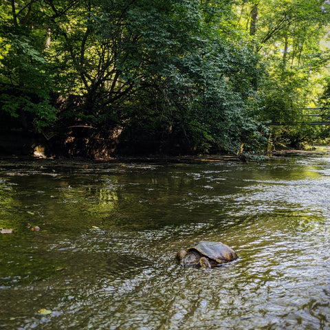 A medium sized snapping turtle sitting in a creek surrounded by trees and greenery