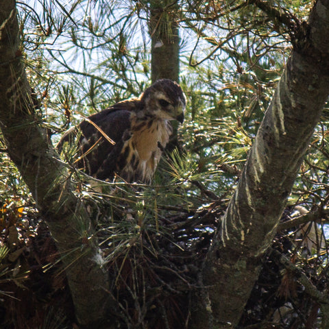 A juvenile red-tailed hawk in a nest.