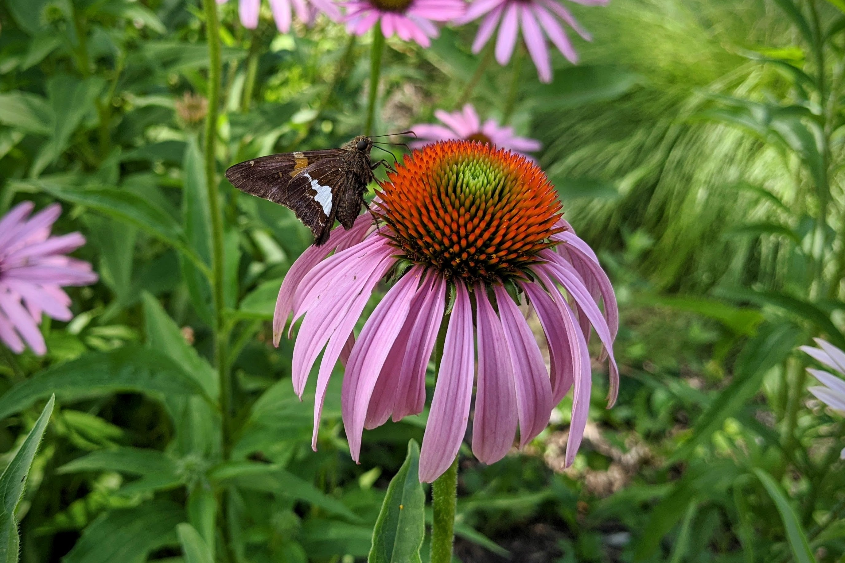 A silver-spotted skipper butterfly nectars on purple coneflower.