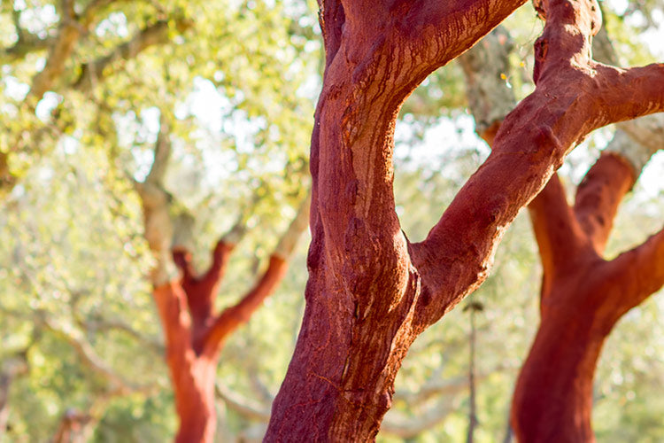 The cork oak tree after being harvested.
