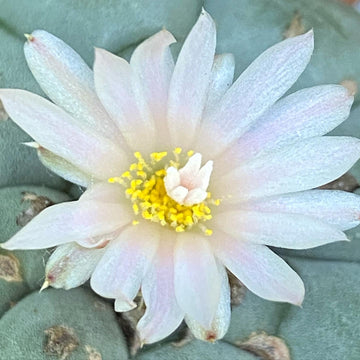 Lophophora Ceremonial Flower Essence