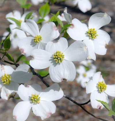 Flowering Dogwood Flower Essence