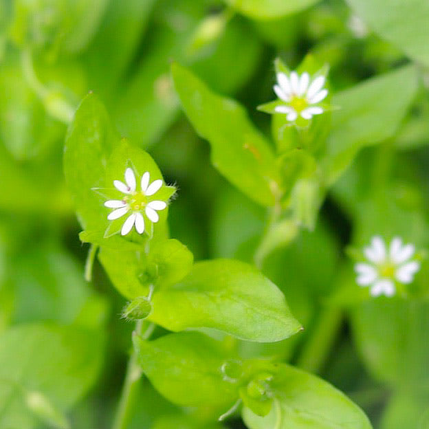Chickweed (Spring Equinox) Flower Essence