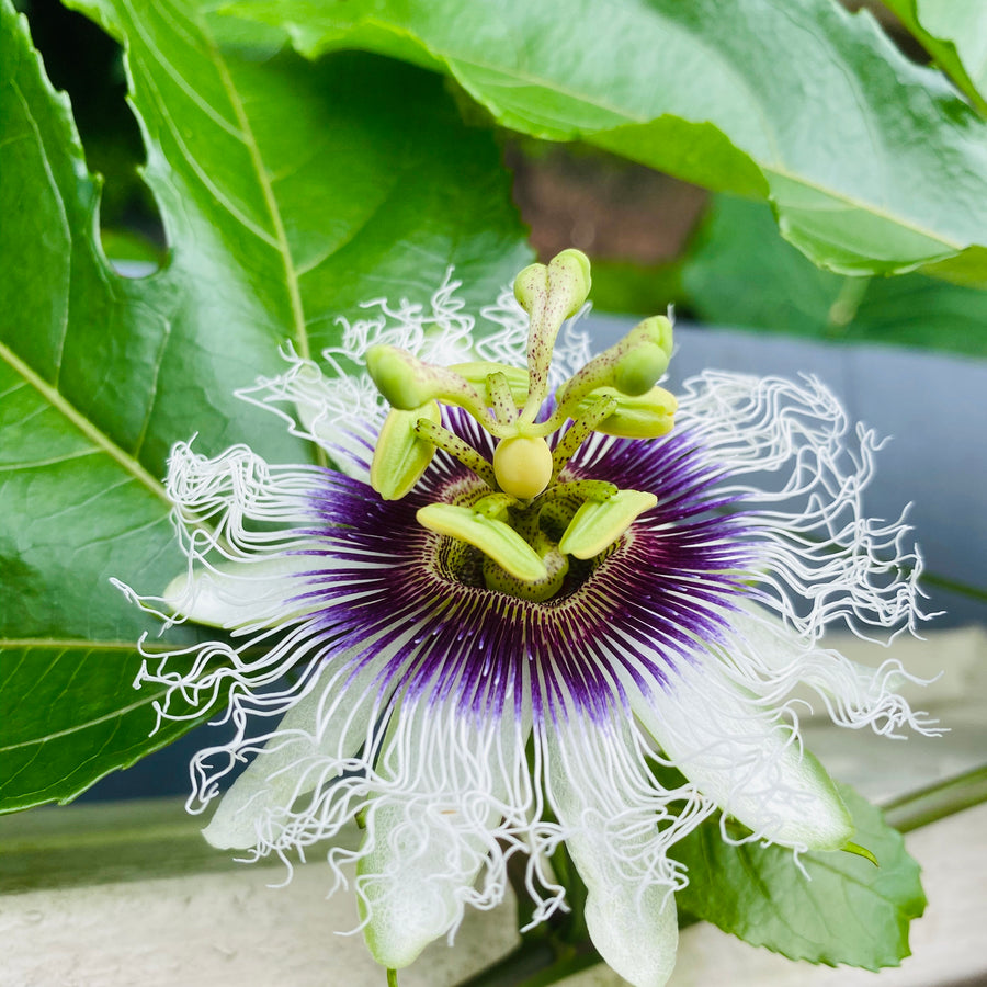 PassionFlower (Passionfruit) Essence