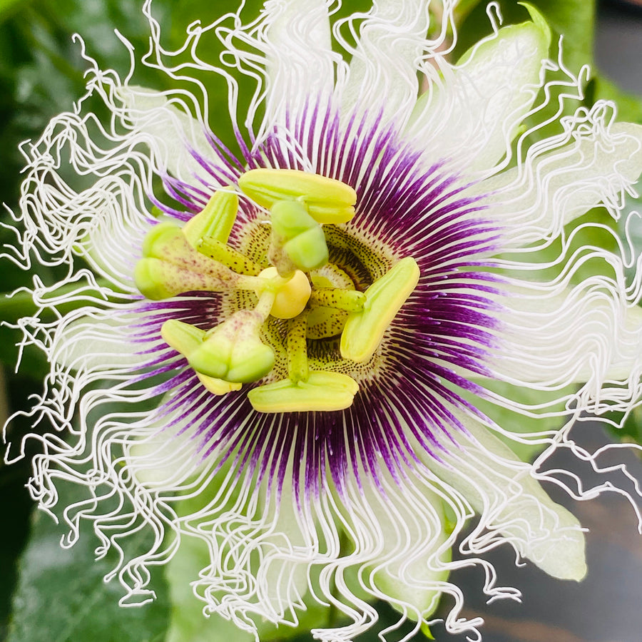 Purple Passionflower, Passion Fruit Vine Seeds (Passiflora edulis)