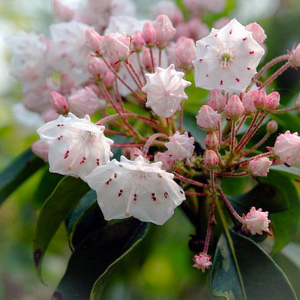 Mountain Laurel Flower Essence