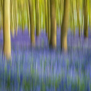 Bluebell wood movement 3