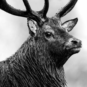 Mono staring stag