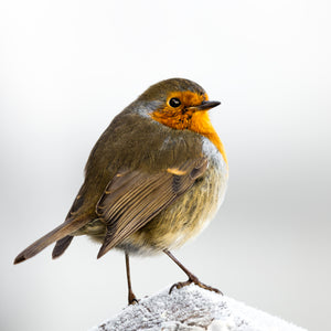 Robin on frosty post