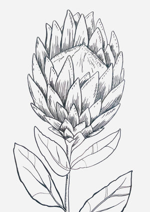 Protea - Framed Botanical Line Drawing
