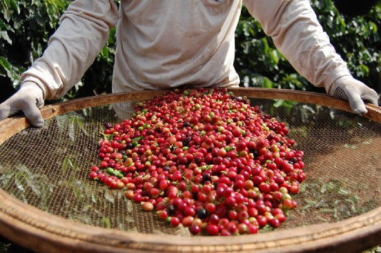 person holding large, round basket of red coffee cherries