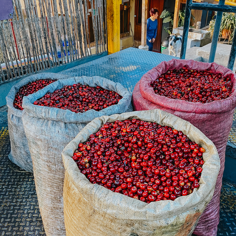 coffee cherries in bags